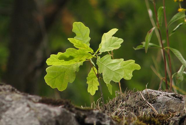 Oak Sapling